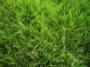 overseeded winter grass